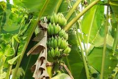 Árvore e frutos verdes de banana fotos de stock