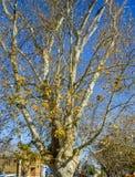 Árvore e fundo azul Imagens de Stock Royalty Free