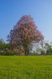 Árvore e grama de Tabebuia Imagens de Stock Royalty Free