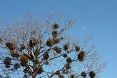 Árvore e lua Foto de Stock Royalty Free