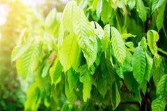 Árvore e luz do sol de cacau fotos de stock royalty free