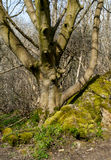 A árvore e o musgo maduros cobriram rochas Foto de Stock Royalty Free