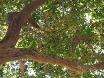 A árvore e os ramos grandes em cima fotos de stock