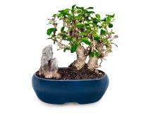 Árvore e pedra dos bonsais no potenciômetro azul   Imagens de Stock Royalty Free