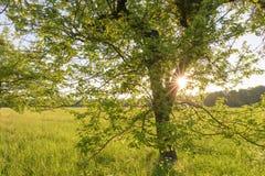 Árvore e prado no por do sol Imagem de Stock Royalty Free