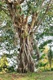 Árvore e raiz Fotos de Stock