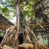 Árvore e raizes gigantes no baile de finalistas Angkor Wat do templo Ta Imagem de Stock