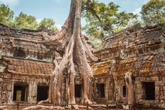 Árvore e raizes gigantes no baile de finalistas Angkor Wat do templo Ta Fotos de Stock Royalty Free