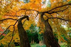 Árvore e ramos de bordo no outono fotografia de stock royalty free