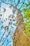 árvore e videira sob o céu azul imagens de stock royalty free