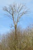 Árvore elevada Fotos de Stock Royalty Free
