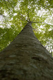 Árvore elevada da floresta virgem Imagens de Stock Royalty Free