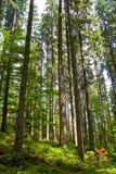 Árvore elevada na floresta Fotografia de Stock Royalty Free