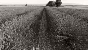 Árvore em campos da alfazema, França filme