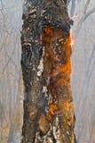 Árvore em chamas 13 Imagem de Stock Royalty Free