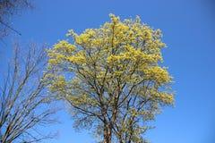 Árvore em natural puro da mola foto de stock royalty free