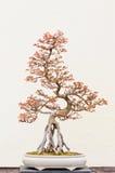 Árvore em pasta dos bonsais Foto de Stock Royalty Free