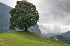 Árvore em Switzerland Fotografia de Stock