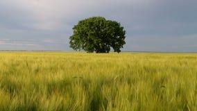 Árvore em um campo vídeos de arquivo