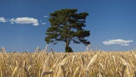 Árvore em um campo do centeio imagem de stock royalty free