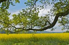 Árvore em um colzafield Imagens de Stock