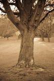 Árvore em um parque no sepia Imagens de Stock