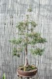 Árvore em um potenciômetro, bonsai dos bonsais do pinho fotos de stock royalty free