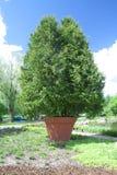 Árvore em um potenciômetro de argila Fotografia de Stock Royalty Free