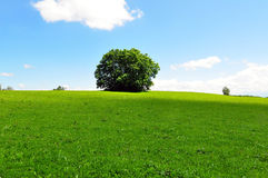 Árvore em um prado do verão imagens de stock