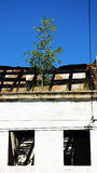 Árvore em uma ruína da casa Imagem de Stock