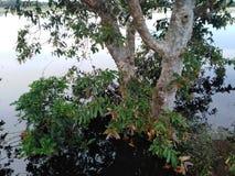 A árvore enorme cercada pela água esta árvore chamou Kubuk em Sri Lanka foto de stock