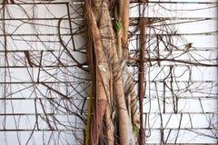 A árvore enraíza a danificação da parede Fotografia de Stock Royalty Free