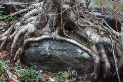A árvore enraíza o crescimento em torno de um grande pedregulho, encerrado imagens de stock royalty free