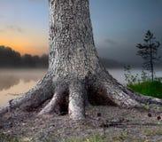 Árvore enraizada Imagens de Stock Royalty Free