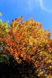 Árvore ensolarado dourada no outono fotos de stock royalty free