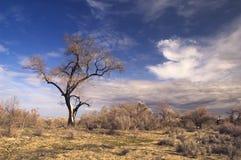 Árvore entre o saxaul Fotos de Stock Royalty Free
