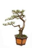 Árvore ereta informal dos bonsais do estilo no branco Imagem de Stock Royalty Free