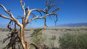 Árvore esqueletal o Vale da Morte fotos de stock royalty free