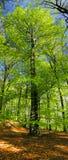 Árvore - faia Imagem de Stock Royalty Free