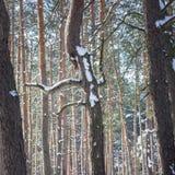 Árvore feericamente em um fundo de pinhos altos em uma floresta brilhante do inverno Fotos de Stock Royalty Free