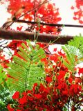 Árvore Flam-boyant Foto de Stock Royalty Free