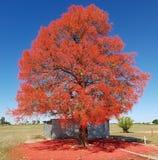 Árvore flamejante Fotos de Stock Royalty Free