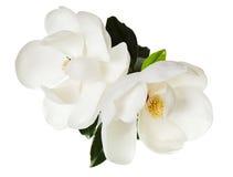 Árvore floral das magnólias brancas da flor da magnólia foto de stock royalty free