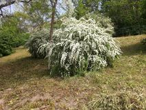 Árvore florescida Fotografia de Stock Royalty Free