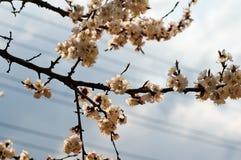 Árvore florescida na cidade Imagens de Stock