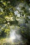 Árvore, folhas e névoa Imagem de Stock