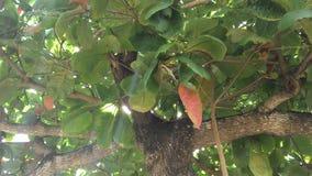 Árvore, folhas e ramos de castanha Fotografia de Stock Royalty Free