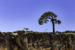 Árvore fora da borda sul de Grand Canyon e do Rio Colorado Imagem de Stock Royalty Free