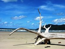 Árvore fossilizada na praia de Kewarra fotografia de stock royalty free