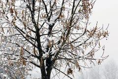 Árvore fria do inverno com tempo de inverno da neve Imagens de Stock Royalty Free
